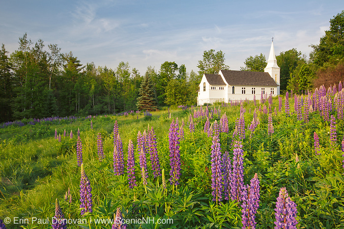 Sugar Hill Lupine Festival - Lupine in Sugar Hill, New Hampshire USA during the spring months