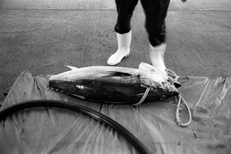 """Tuna just fished and unloaded from a boat in the fish market of Oma. Fisherman in Oma fish tuna one by one using not fishing net but a string an hook on a boat. Tuna of Oma is one of the most expensive tuna in the world, and called """"Black Diamond""""."""