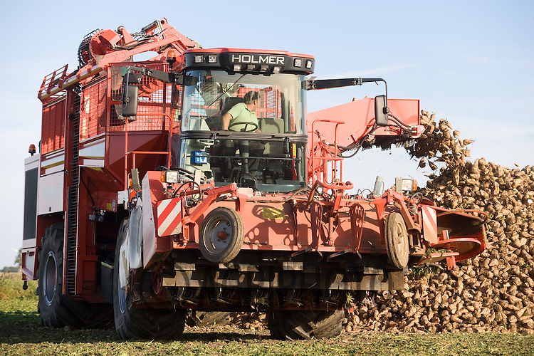 Contractors  A & R Ivatt lifting 4 hectare of Opta sugar beet at Shillakers Farm,Baston,Lincolnshire.With Beet will go to the Wissington sugar beet factory
