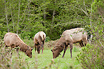 Orick, California; Roosevelt elk (Cervus canadensis roosevelti) in the rain along the side of the road, also known as Olympic Elk, they are the largest of the four remaining subspecies of elk in North America and live in the rainforests of the Pacific Northwest