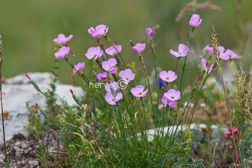 En montant vers le pic de Gleize (depuis le col de Gleize) : Oeillet des bois ( Dianthus sylvestris ) // Woodland Pink, Dianthus sylvestris (France, Alpes, near the peak of Gleize)