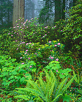 Del Norte Coast Redwoods State Park, Redwood National Park, CA: Flowering Pacific Rhododendron in fog