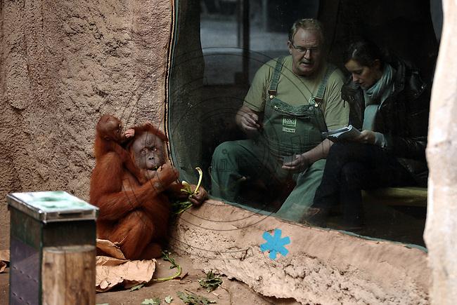 Pongoland Zoo Leipzig - MPI - im Bild: Oran-Utan - Baby Jungtier Batak und Pini - dahinter Pongoland-Chef Frank Schellhardt mit BILD Reporterin Luise Schlächter.  Foto: Norman Rembarz ..