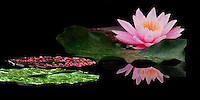 Wet with rain, a pink Fragrant waterlily and lily pads reflect in the black pond water in RI, USA.