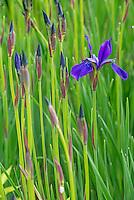 Japanese Iris in spring