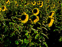 Front-lit Sunflowers