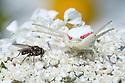 White form of Goldenrod Crab Spider (Misumenia vatia) camouflaged on umbellifer flowers preparing to ambush a fly. Devon, UK. June.