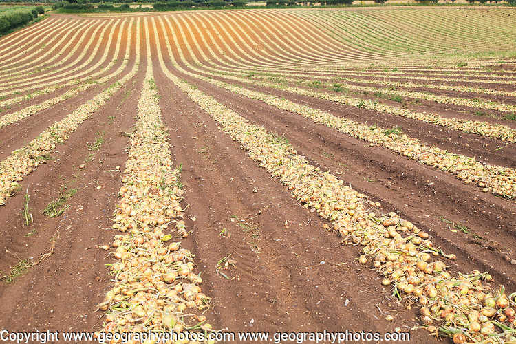 Lines of onions harvested from field, Wantisden, Suffolk, England, UK