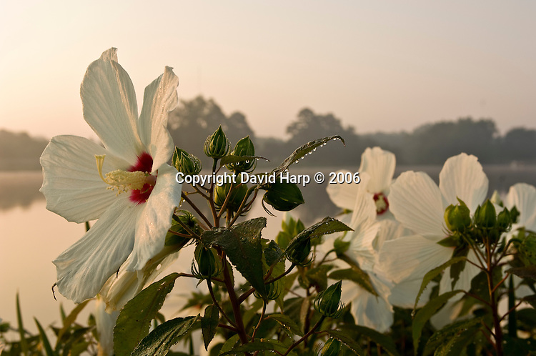 Marsh hibiscus along the banks of the Nanticoke River