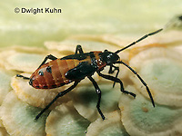 HE05-031z  Large Milkweed Bug Nymph on milkweed seed pod, Oncopeltus fasciatus