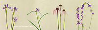 30099-00205 Blue Flag Iris, Virginia Spiderwort, Pale Purple Coneflower & Blue Larkspur Digital composite (high key white background) Marion Co. IL