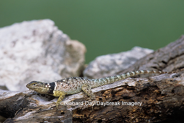 02617-00111 Blue Spiny Lizard (Sceloporus serrifer) Starr Co. TX