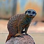 Animais. Mamiferos. Suricata (Suricata suricatta) no Zoologicol. SP. Foto de Juca Martins.