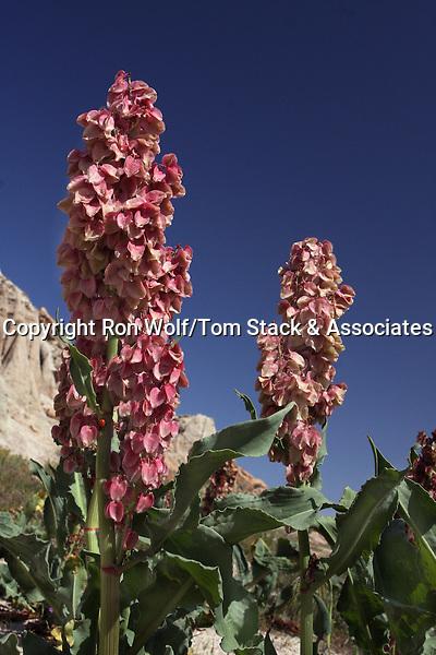 Desert Rhubarb (Rumex hymenosepalus) a/k/a Wild Rhubarb, Canaigre, Canaigre Dock. Red Rock Canyon State Park. Kern Co., Calif.