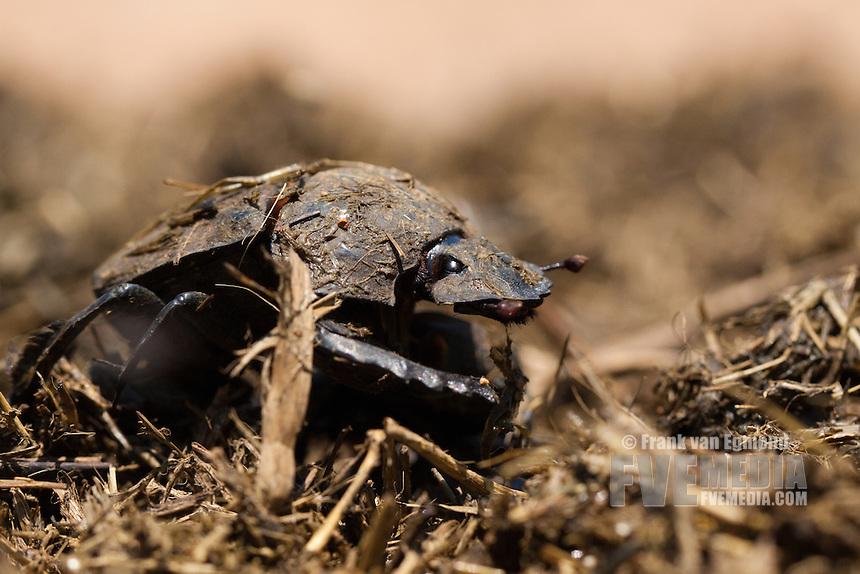 Flattened Giant Dungbeetle (pachylomerus femoralis)..Ndumo Game Reserve, Kwazulu-Natal, South Africa. November 2010.