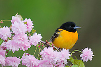 Male Baltimore Oriole or Northern Oriole (Icterus galbula) perched on flowering tree branch.  Great Lakes Region, spring.