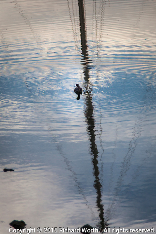 On a late winter afternoon, a sail boat mast reflection, a floating bird and expanding ripples intersect in the waters of the San Leandro Marina on San Francisco Bay.