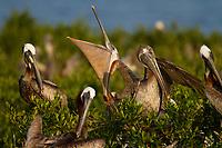 Brown Pelican (Pelecanus occidentalis) stretching its bill in a Barataria Bay nesting colony. Plaquemines Parish, Louisiana. July 2010.
