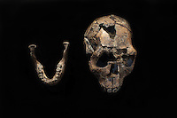 The skull of Turkana boy the most complete skeleton ever found of an early human. The  12 year old  boy died 1.5 million years ago.