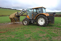 Tractor putting a bale of silage into an outside feeder, Devon....Copyright John Eveson 01995 61280.j.r.eveson@btinternet.com