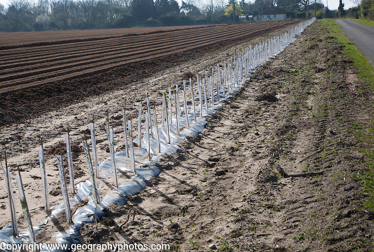 Plastic protective tubes cover new hedgerow hawthorn plants growing on the edge of a field, Hollesley, Suffolk, England