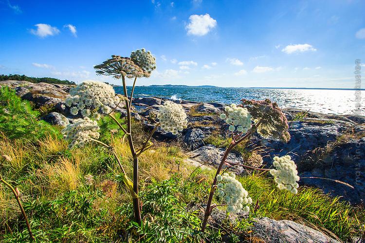 Strandkvanne på Fjärdlång i Stockholms skärgård. / Flowers in the Stockholm archipelago in Sweden.