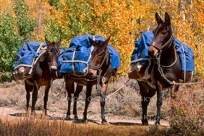 Black pack mules and fall colored trees in the Eastern Sierra, California