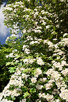 Common Hawthorn - Crataegus monogyna