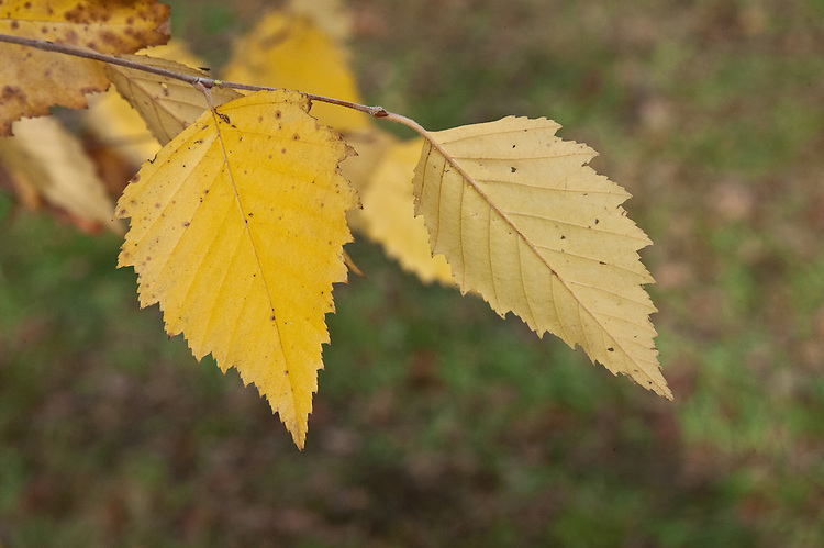Autumn foliage of of river or black birch (Betula nigra), early November.