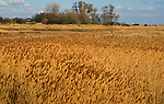 AE2CK8 Marshland reedbeds on drained land at Hollesley Suffolk England