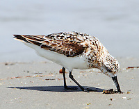 Male sanderling molting to winter plumage in August