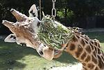 Foto: VidiPhoto<br /> <br /> RHENEN – Als extra verkoeling, maar vooral ook als afleiding, kreeg een aantal bewoners van Ouwehands Dierenpark Rhenen woensdag hun dieet ingepakt in ijs. De hitte was echter zo enorm, dat de tractatie smolt als ijs voor de zon. Veel moeite hoefden de giraffe, mandrils en ijsberen niet te doen om hun voedsel uit het ijs te knagen. Behalve de ingevroren vis, fruit en groenten krijgen de dieren ook extra water. Volgens de dierentuin passen ze ook hun gedrag aan met de hitte. De dieren drinken meer, zoeken de schaduw op en gaan wat vaker in bad, voorzover mogelijk.