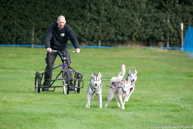 Husky dogs pulling sled, UK, mushing