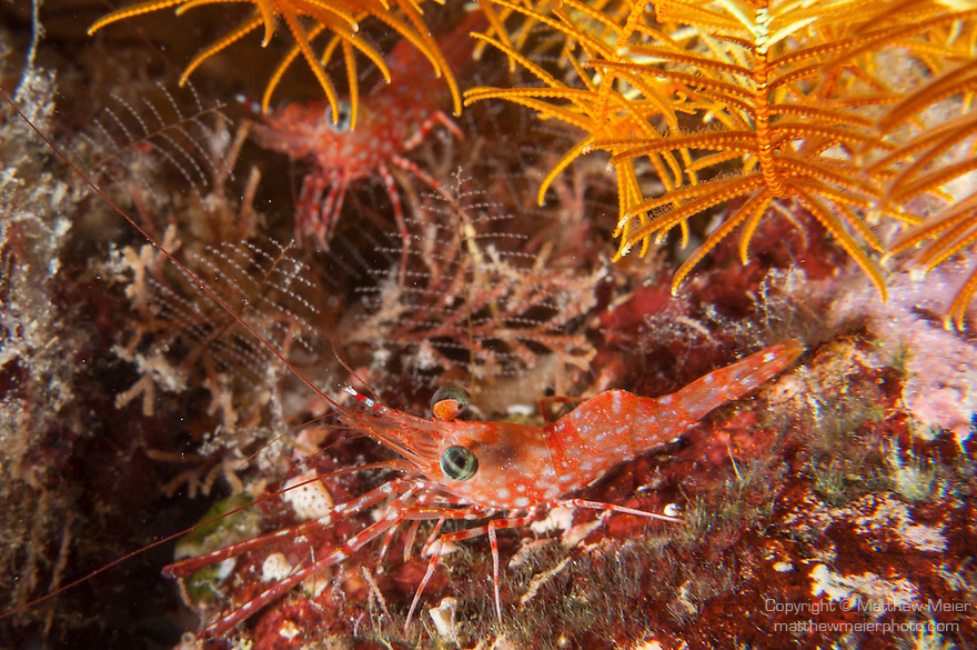 Misool, Raja Ampat, Indonesia; a pair of red and white cleaner shrimps tucked into the coral reef