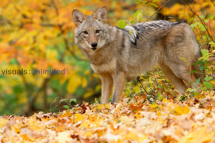 Coyote (Canis latrans) standing on leaves on the floor of a fall deciduous forest, North America.