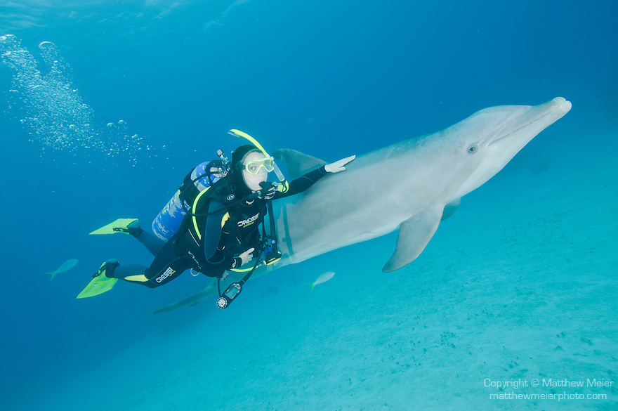 Grand Bahama Island, The Bahamas; a Common Bottlenose Dolphin (Tursiops truncatus) poses for pictures while swimming with a scuba diver underwater