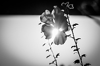 A backlit flower in black and white with sunbeams streaming between its petals and its leaves in silhouette.