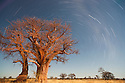 Botswana, Nxai Pan National Park, Kalahari, Baobab trees at night with star trails, long exposure image during full moon night, illuminated by moon light