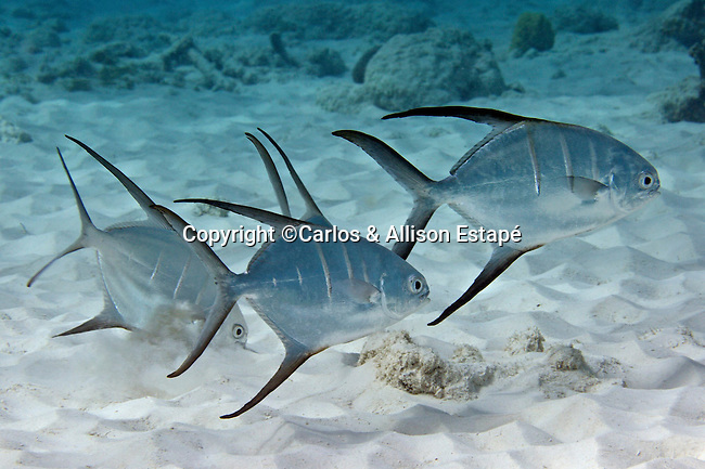 Trachinotus goodei, Palometa, Bonaire