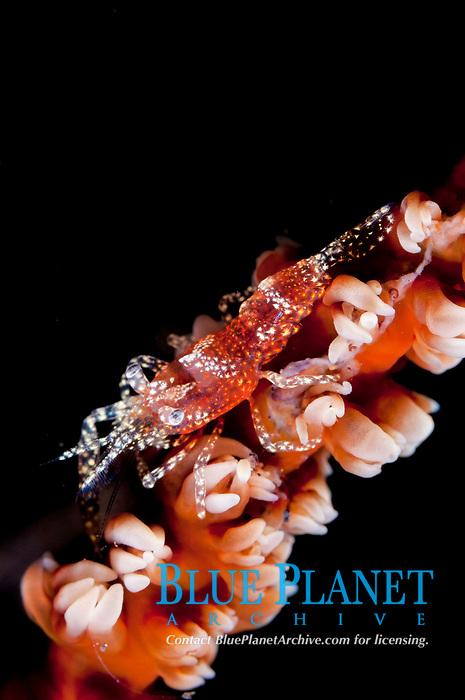 Zanzibar Whip Coral Shrimp, Dasycaris zanzibarica, camouflaged on Whip Coral, Alcyonacea Order, night dive, Seraya Beach Resort house reef, Tulamben, Bali, Indonesia, Indian Ocean