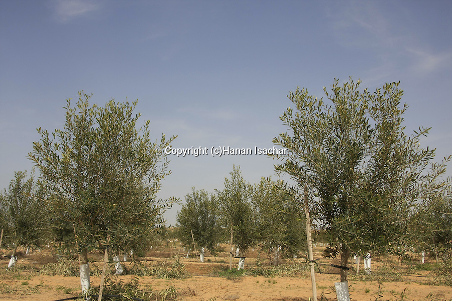 Israel, Negev. An Olive grove in Kibbutz Revivim