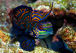 Mandarinfish, dragonet, The mandarinfish or mandarin dragonet, Synchiropus splendidus (syn. Pterosynchiropus splendidus), is a small, brightly-colored member of the dragonet family