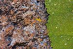 Yareta (Azorella compacta) cushion plant bordering rock, Abra Granada, Andes, northwestern Argentina