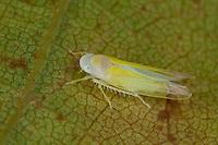 Zikade auf der Blattunterseite von Platane, Edwardsiana platanicola, syn. Typhlocyba platanicola, leafhopper, leaf-hopper, leafhoppers