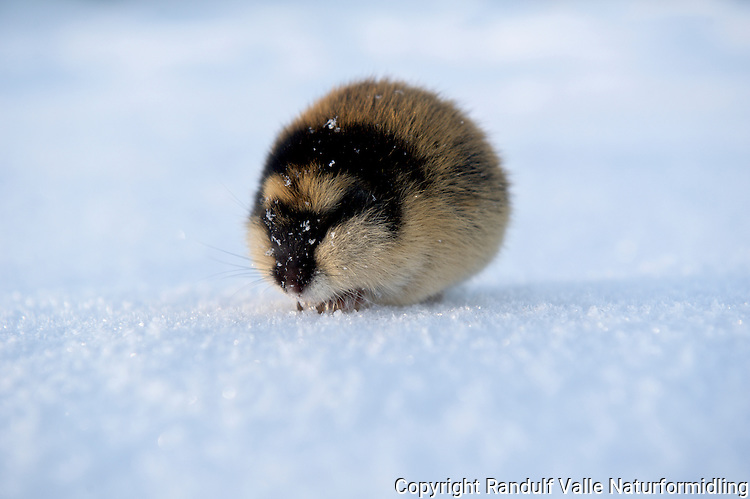 Lemen på isen på Nordre Stabbursdalsvann. ----  Norway Lemming in winter.
