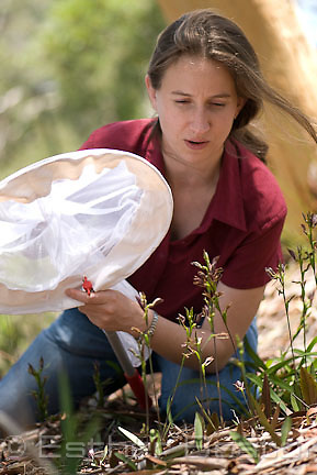 Anne Gaskett trapping wasps during orchid research, Macquarie University, Sydney, New South Wales, Australia
