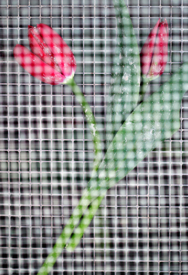 Two red tulips between wire mesh