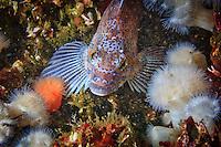 Kelp Greenling underwater in Haida Gwaii, British Columbia, Canada