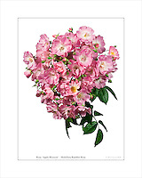 "Rambling rose Rosa 'Apple Blossom"" flower truss photobotanic silhouette"