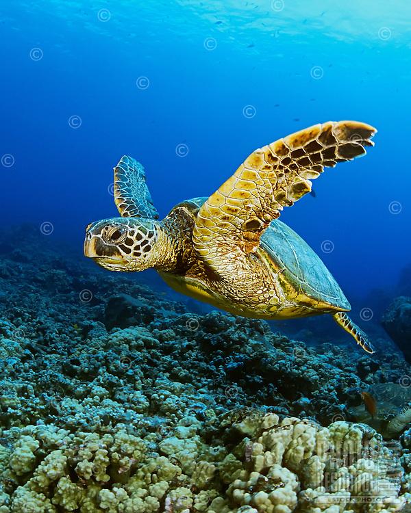 A green sea turtle (Chelonia mydas) along the Kona Coast, Big Island